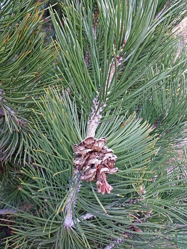 Сосна Гельдрейха (Pinus Heldreichii)