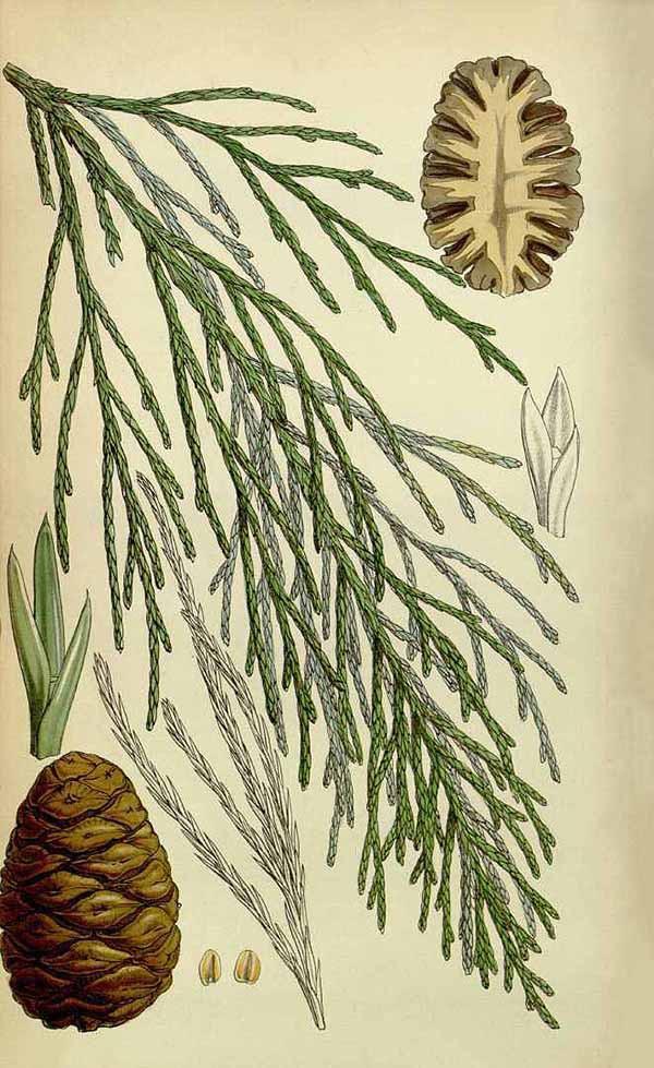 Секвойядендрон гигантский (Sequoiadendron giganteum)