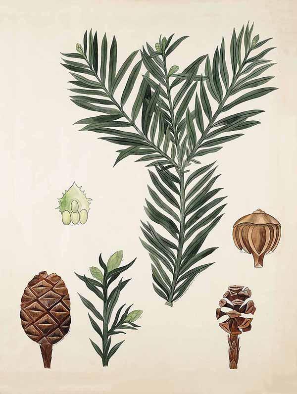 Секвойя вечнозелёная (Sequoia sempervirens)