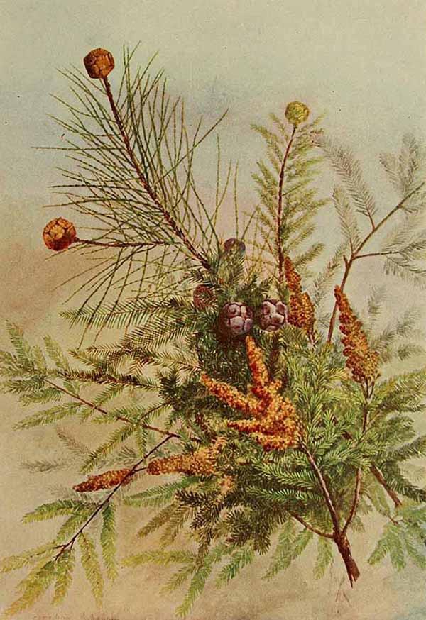 Болотный кипарис обыкновенный (Taxodium distichum)
