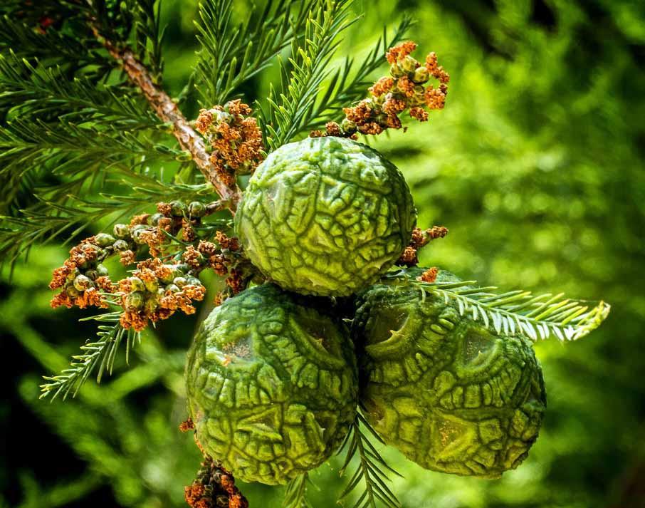 Болотный кипарис восходящий (Taxodium ascendens)