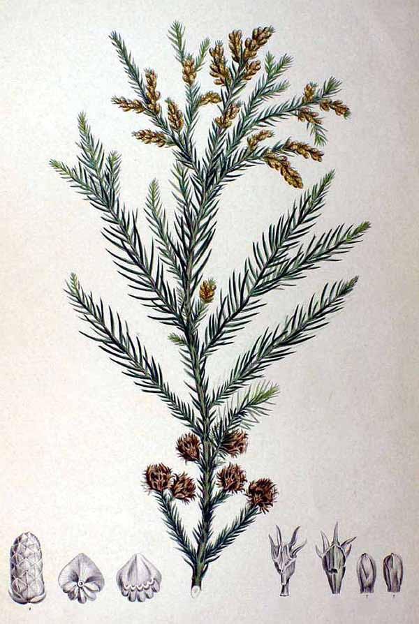 Японская криптомерия (Cryptomeria japonica)