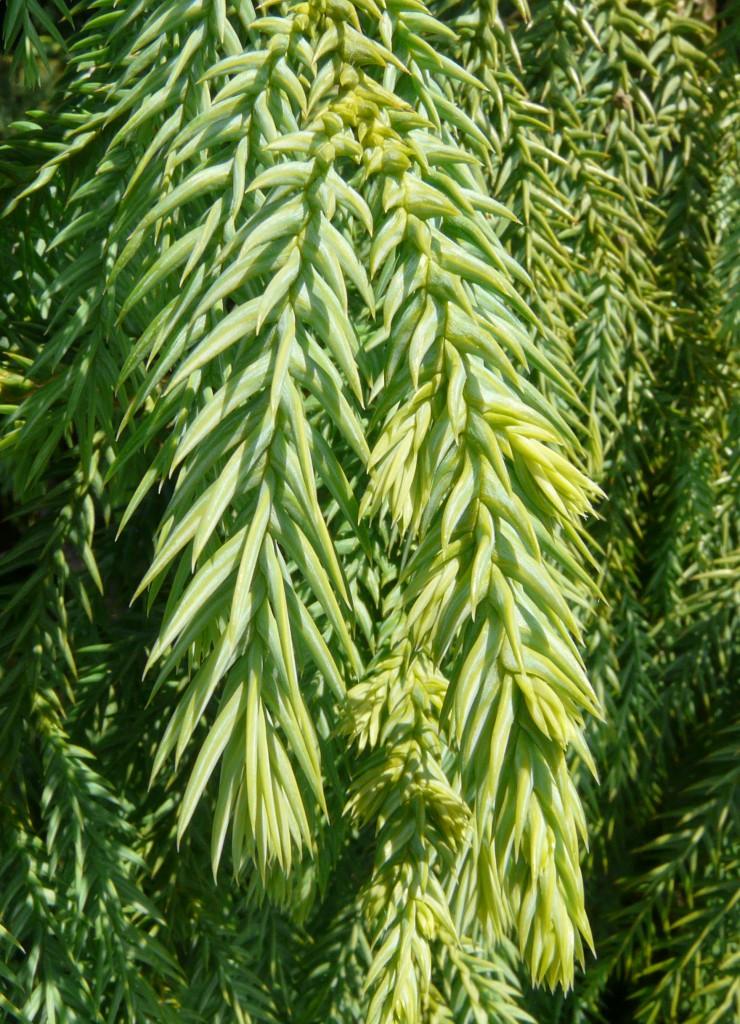 Тайвания криптомериевидная (Taiwania cryptomerioides)