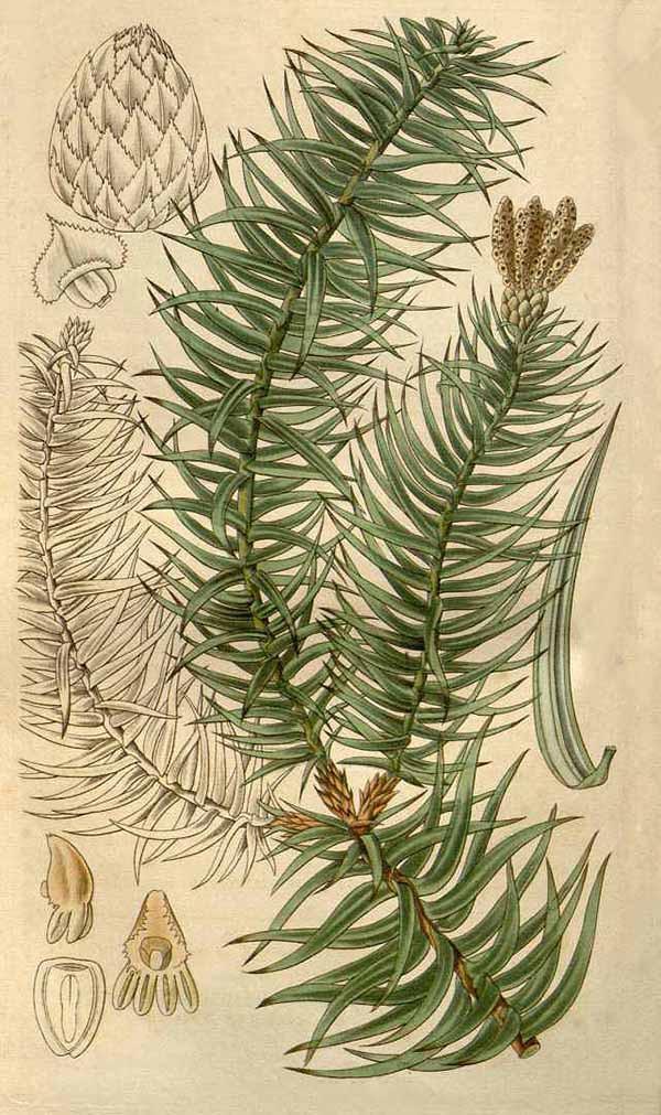 Куннингамия ланцетная (Cunninghamia lanceolata)