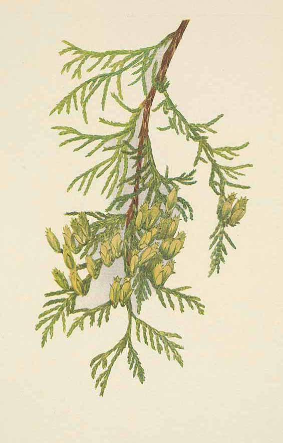 Туя складчатая или гигантская (Thuja plicata)