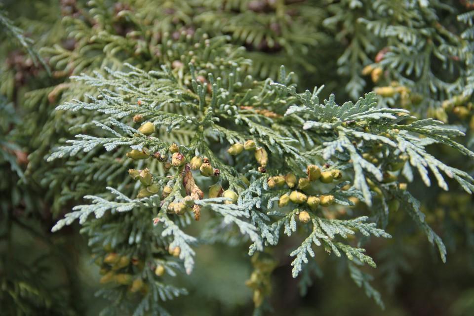 Туя корейская (Thuja koraiensis)