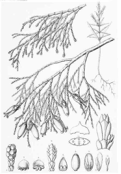 Речной кедр сбежистый или калифорнийский (Libocedrus decurrens)