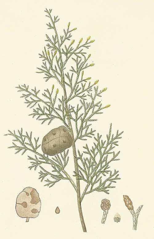 Кипарис вечнозелёный (Cupressus sempervirens)