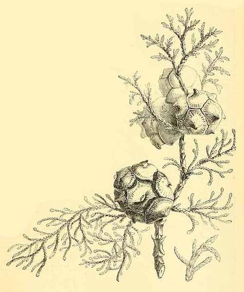 Кипарис надутый или гималайский (Cupress torulosa)
