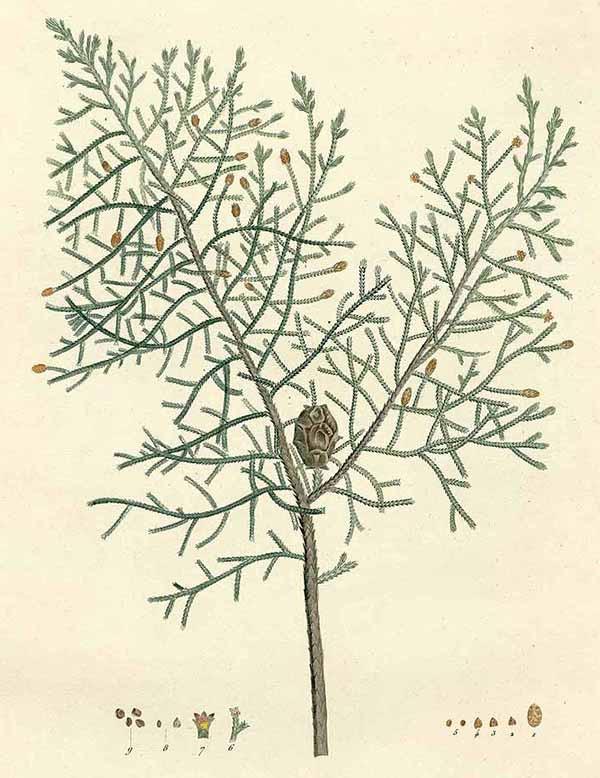 Кипарис лузитанский (Cupressus lusitanica)