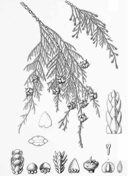 Кипарисовик нутканский (Chamaecyparis nootkatensis)
