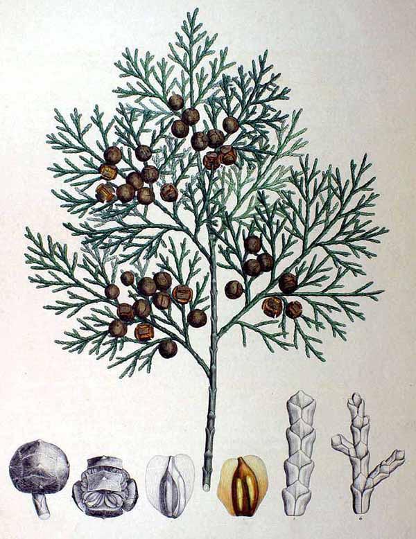 Кипарисовик туполистный (Chamaecyparis obtusa)