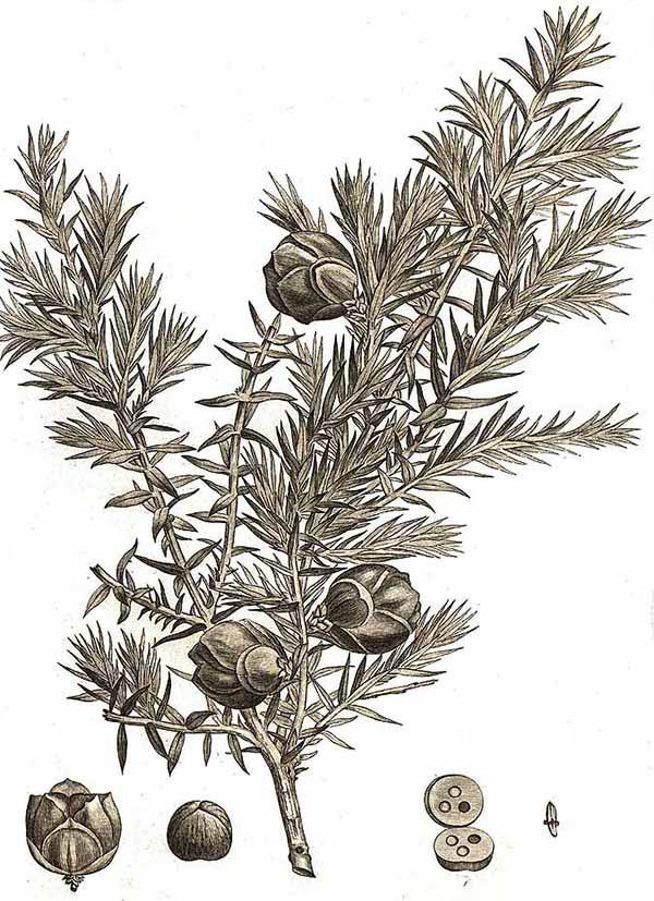 Можжевельник косточковый (Juniperus drupacea)