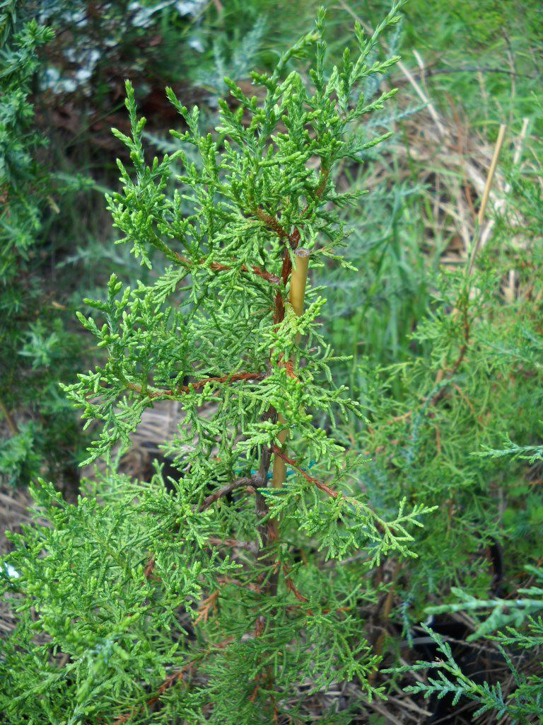 Можжевельник длиннолистный (Juniperus oblonga)