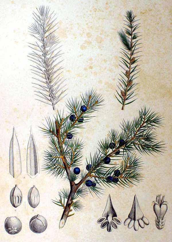 Можжевельник твёрдый (Juniperus rigida)