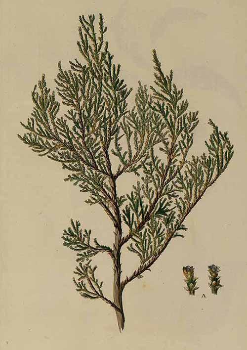 Можжевельник вонючий (Juniperus foetidissima)