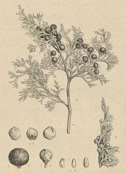 Можжевельник ладанный (Juniperus thurifera)