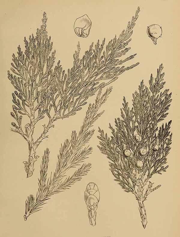 Можжевельник многоплодный (Juniperus polycarpos)