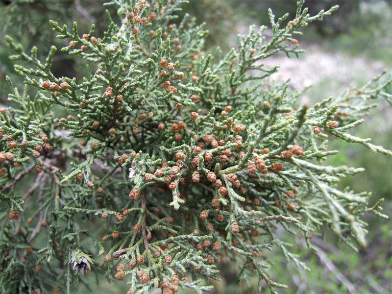 Можжевельник туркменский (Juniperus turcomanica)