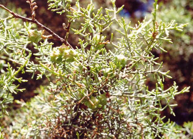 Можжевельник толстокорый (Juniperus pachyphloea)