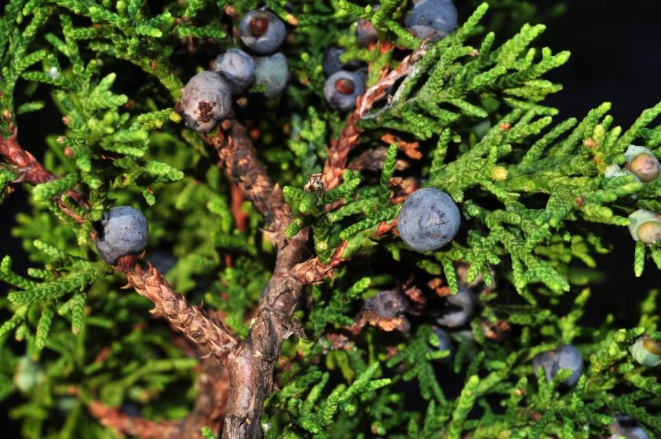 Можжевельник мексиканский (Juniperus mexicana)