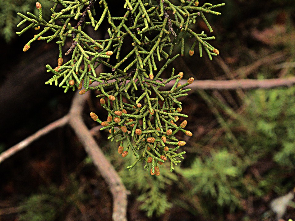 Можжевельник калифорнийский (Juniperus californica)