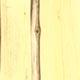 Карагана древовидная, или жёлтая акация